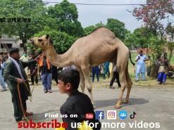 2nd day camel qurbani 2021 wapda town