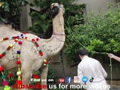 camel qurbani 2021 canal view