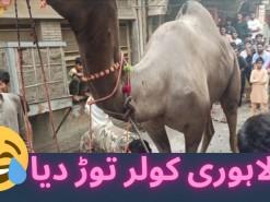 camel qurbani city area 2021