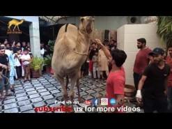 latest camel qurbani 2021 in city