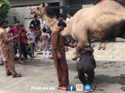 camel qurbani in 2021