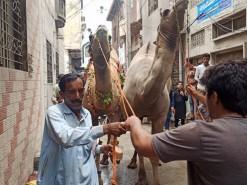 camel qurbani 2021 in city gujranwala