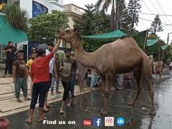 latest camel qurbani 2021 in A2