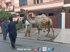 camel qurbani 2021 C1 gujranwala