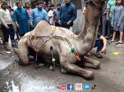 camel qurbani 2021 Pakistan
