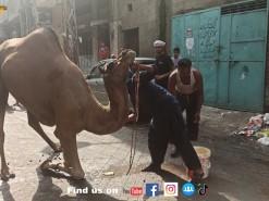 camel qurbani 2021 bakhtewala mohalla