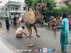 2021 camel qurbani almarjan wapda town